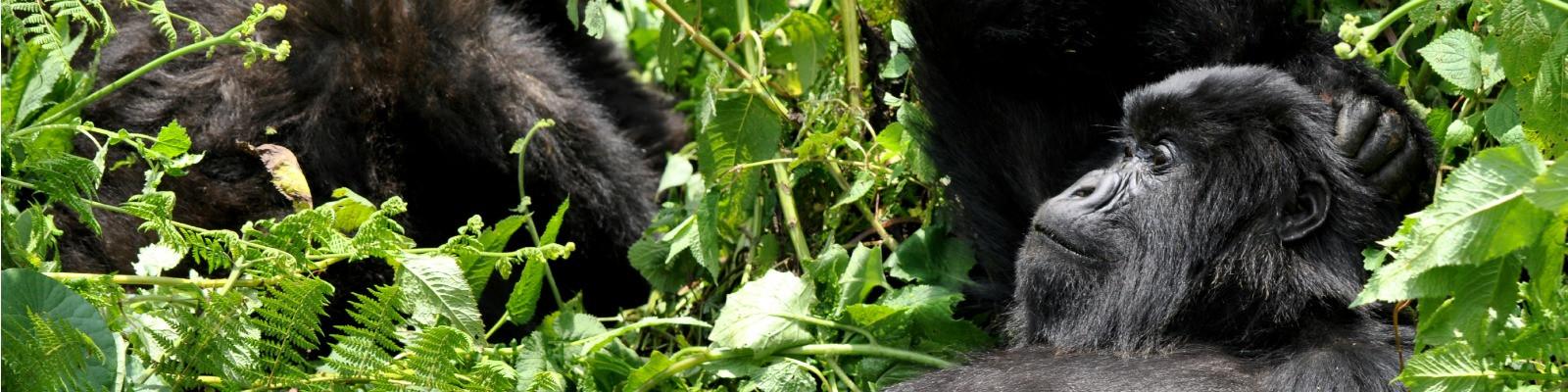 Gorilla Rwanda photo by Carine06