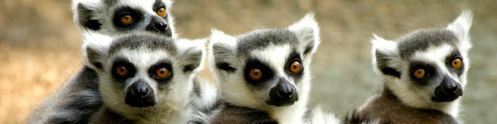 Lemuren auf Madagaskar Reisen