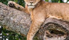 Uganda tours - 8 Day Uganda's Primates and Wildlife