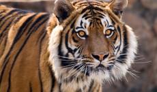 Indien Rundreisen - Tiger Indiens & Kultur in Rajasthan und Uttar Pradesh