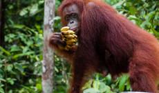 Indonesien Rundreisen - Borneo & Bali 14-tägige Rundreise